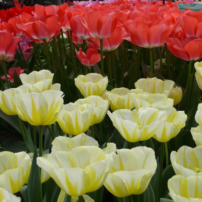 Тюльпаны, которые меня удивили
