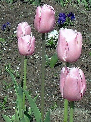 Тюльпаны. апрель 2010.