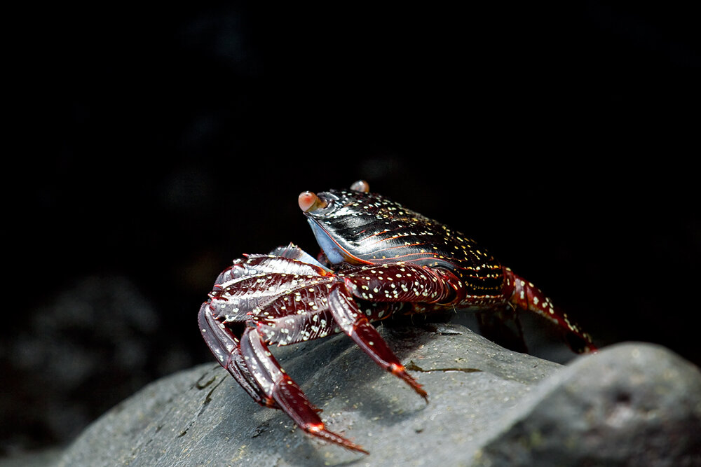 Краб (Grapsus grapsus)