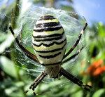 Голубой паук-3.jpg