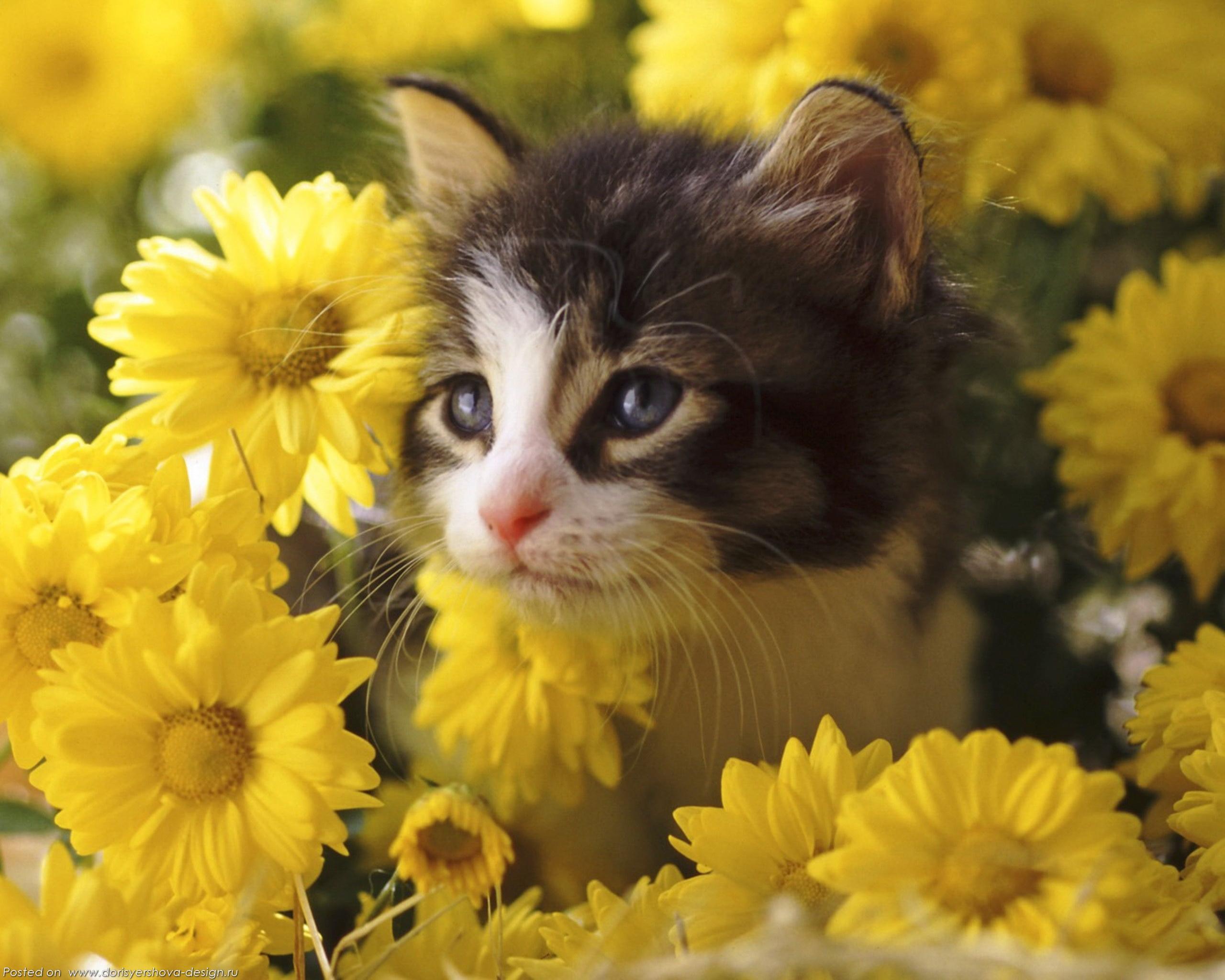 желтые хризантемы, котенок