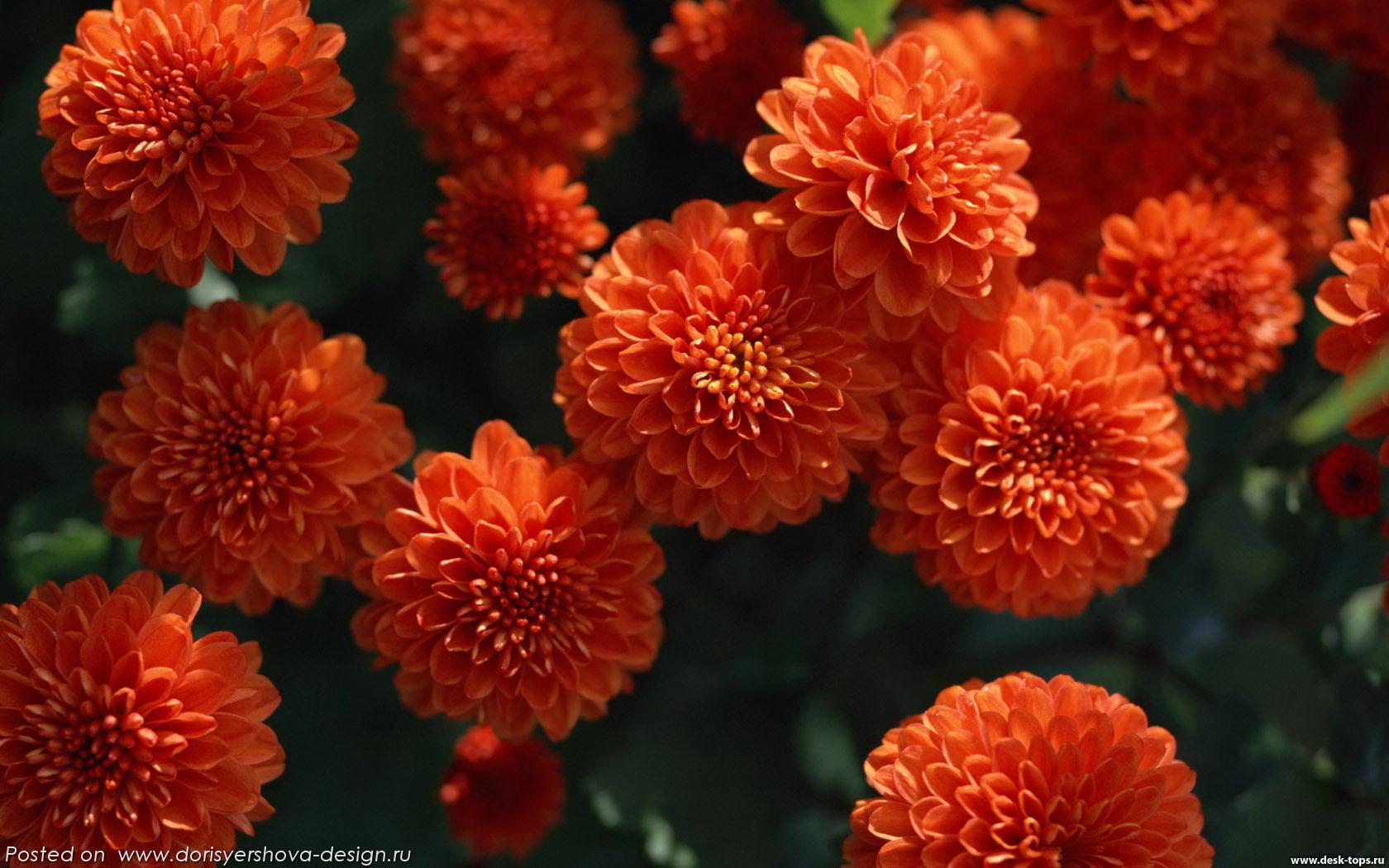 темно-оранжевые хризантемы