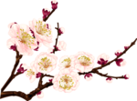 Blossom-яблыні