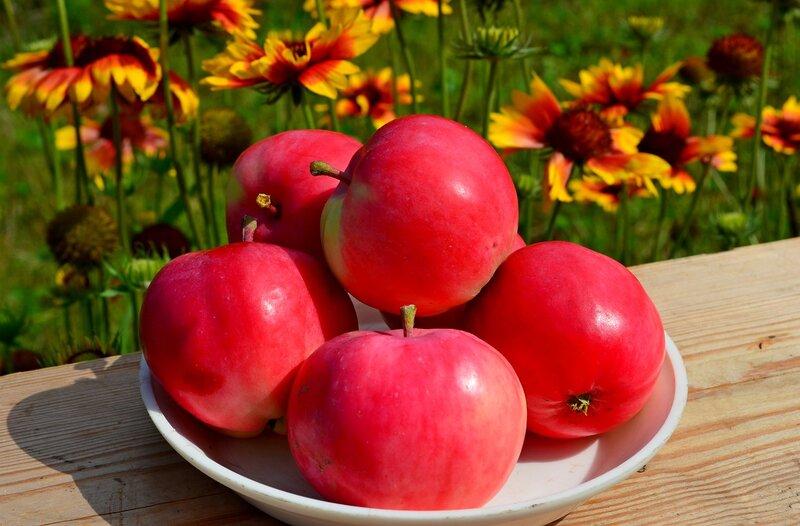 Первые яблоки