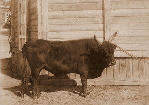 Бык монгольский Ж. В. Вампилова (награжден серебряным кубком).