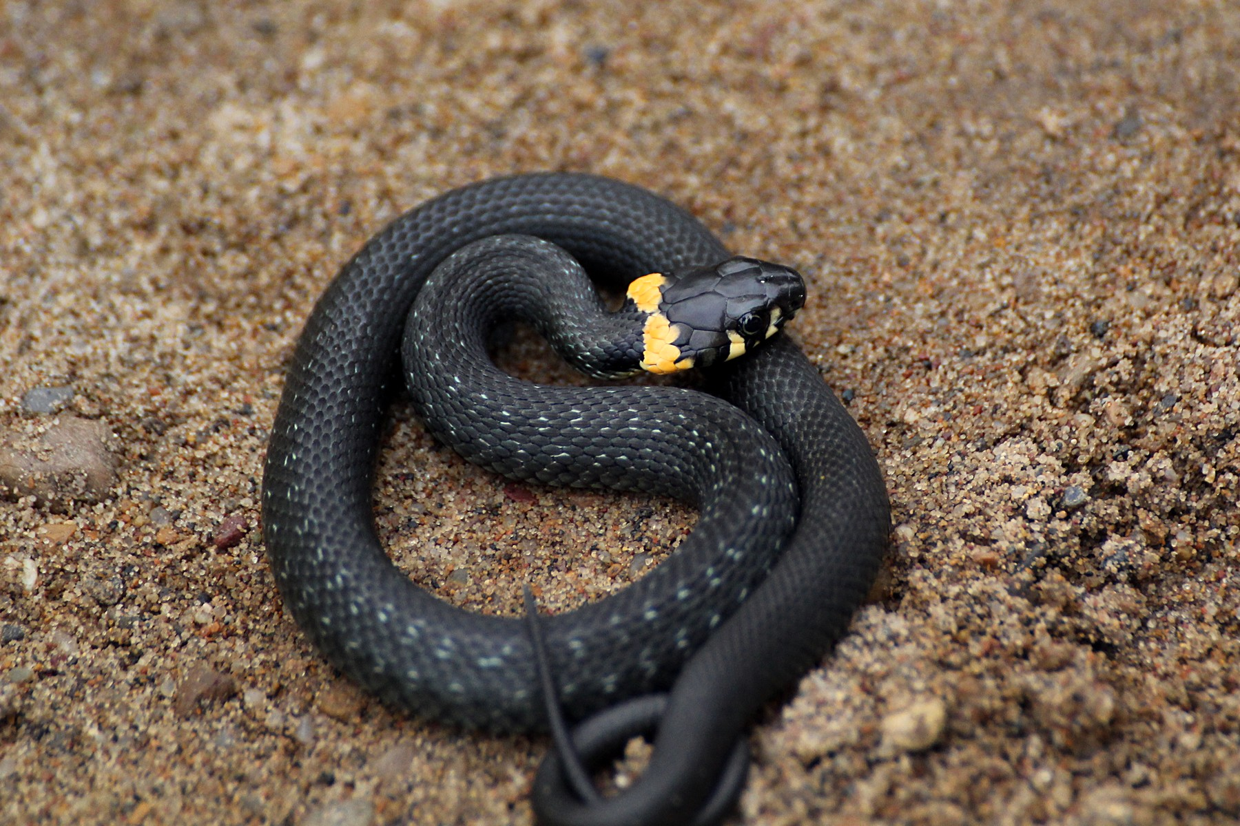 черная змея гадюка фото