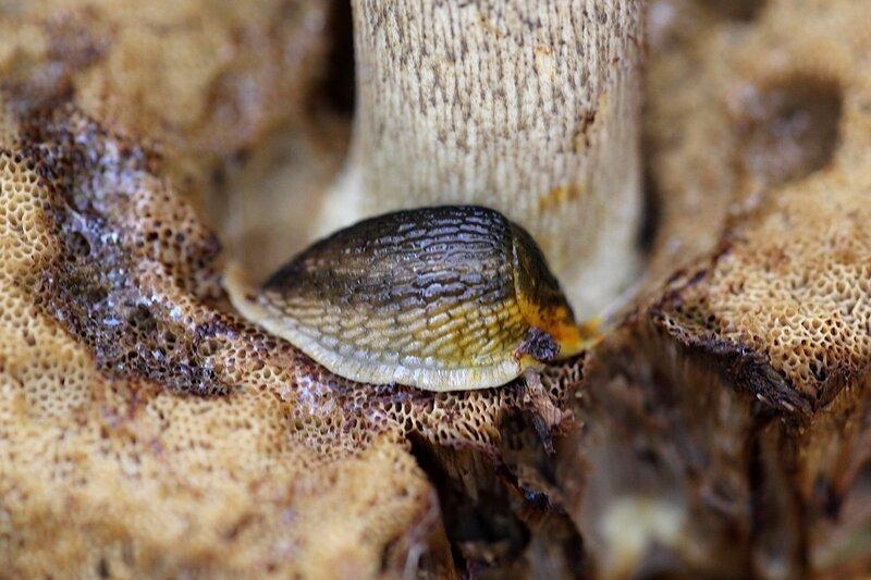 Слизень на губчатой мякоти гриба