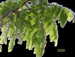 Cassia fistula1.png