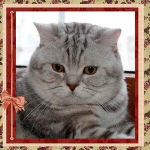 Аселтика Джимми британский короткошерстный шоколадный серебристый мраморный кот