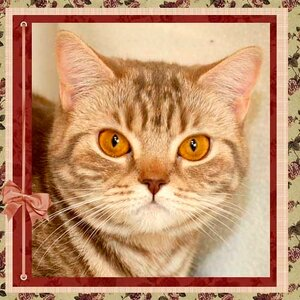 БравоБРИ Орби cs22 британская короткошерстная кошка лилового серебристого мраморного окраса
