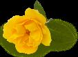 YELLOW ROSE 2.png
