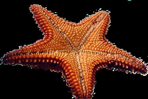 Deniz atları 1 arkaplan transparan deniz kabukları denoz yıldızı
