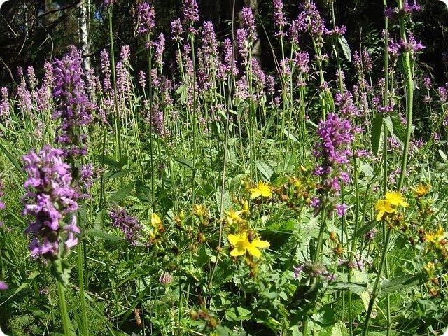 Буквица и «Сей полезной и изящной травы врачебные качества и силы»