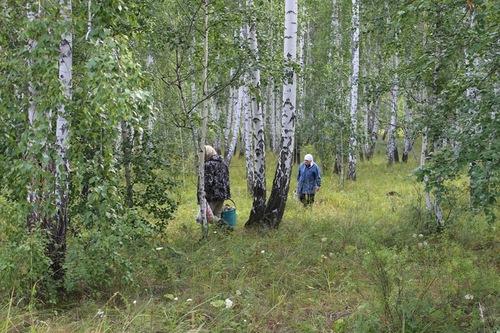 Собираем грибы вберезовом лесу