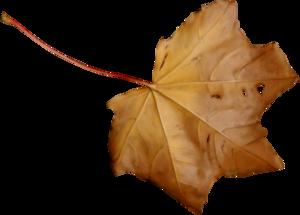 лист клена