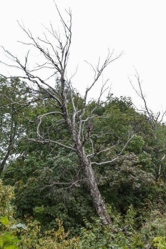 Сухое дерево, Жигулевский заповедник