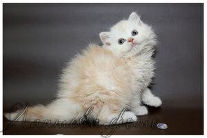 кремовый серебристый мраморный британский длинношерстный кот