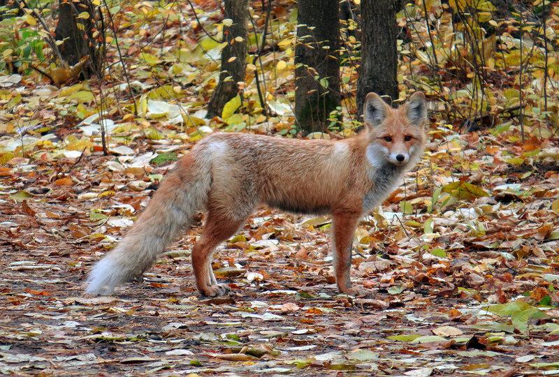 Пришла лиса в парк погулять