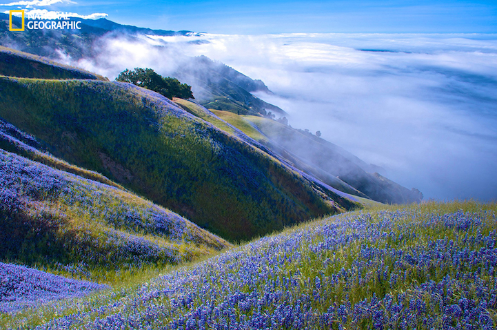 I'd gone to Big Sur to watch the gray whale migration from the cliffs, but it was too foggy to even see the water.  I decided to hike up the Baronda Trail to see if I could get above the fog.  This view was my reward.  Miles of lupine and blue skies.  Out