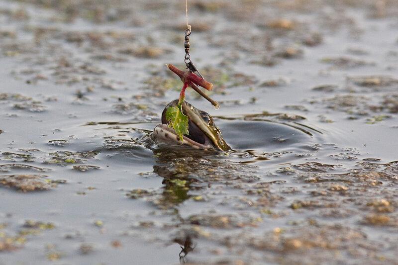 Как ловить на лягушку осенью