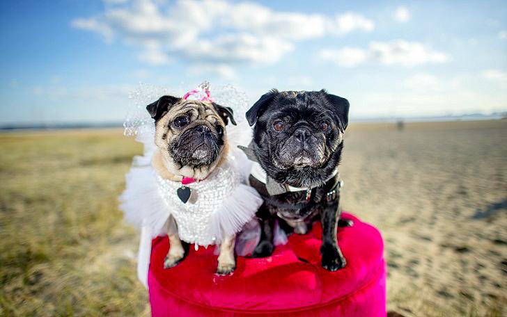 Собачья свадьба: совет да любовь Джасмин и Джасперу (14 фото)