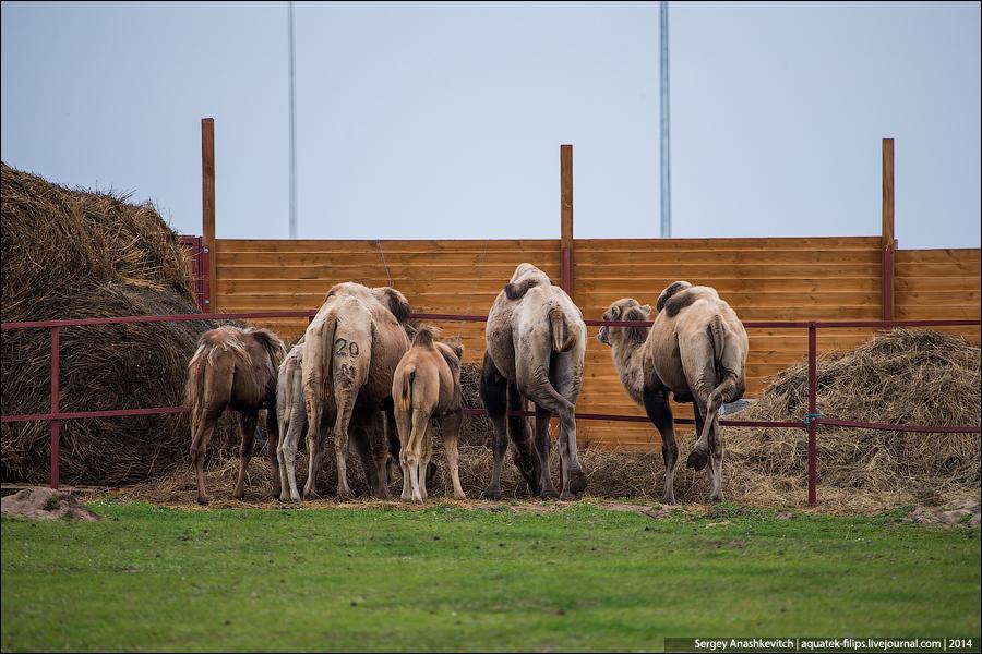 Верблюды в Булгаре