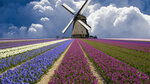 Field of Hyacinths Beneath a Windmill, North Holland Province, Netherlands.jpg
