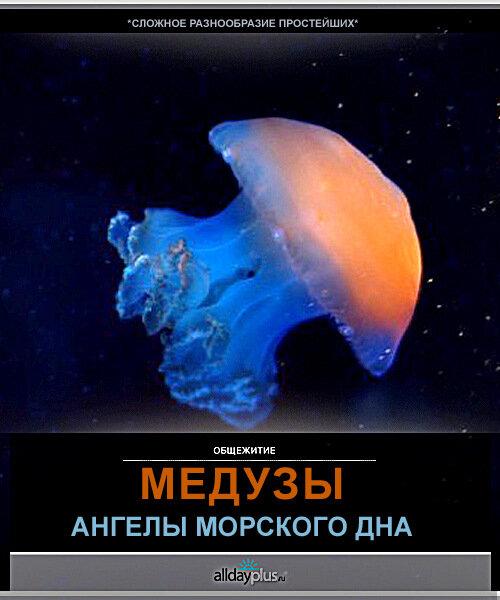 Медузы. Морские ангелы от фотографов со всего мира. С описанием.