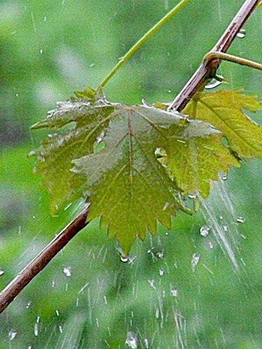 Полировка листьев ливнем ...