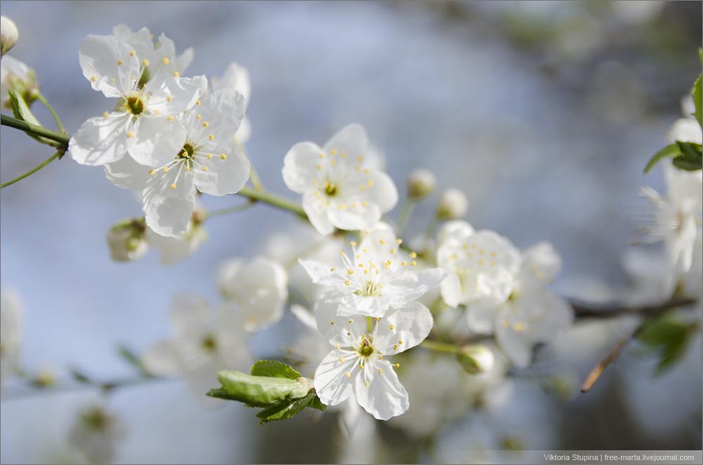 белая весна