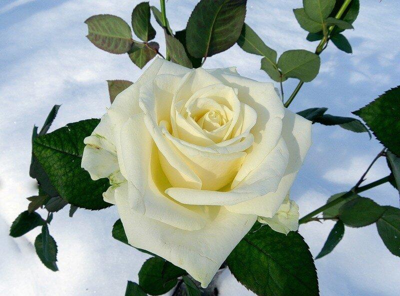 Открытки с анимации белые розы, вкладкой
