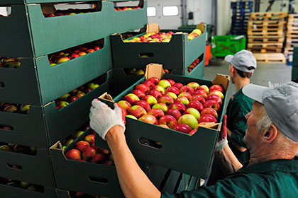 Россия не пустила в Казахстан польские яблоки из Белоруссии