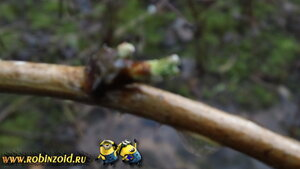 побег малины
