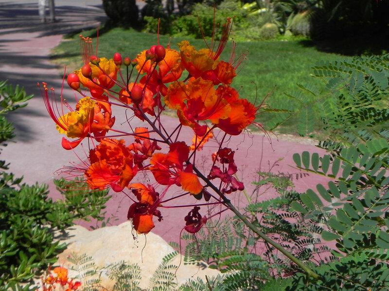 "Ботанический сад кибуца ""Эйн Геди""  Caesalpinia пулчеррима"