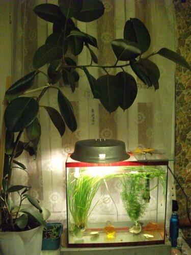 Фикус и аквариум