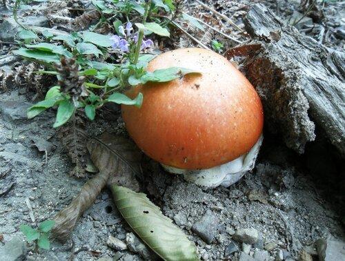 Царёв гриб