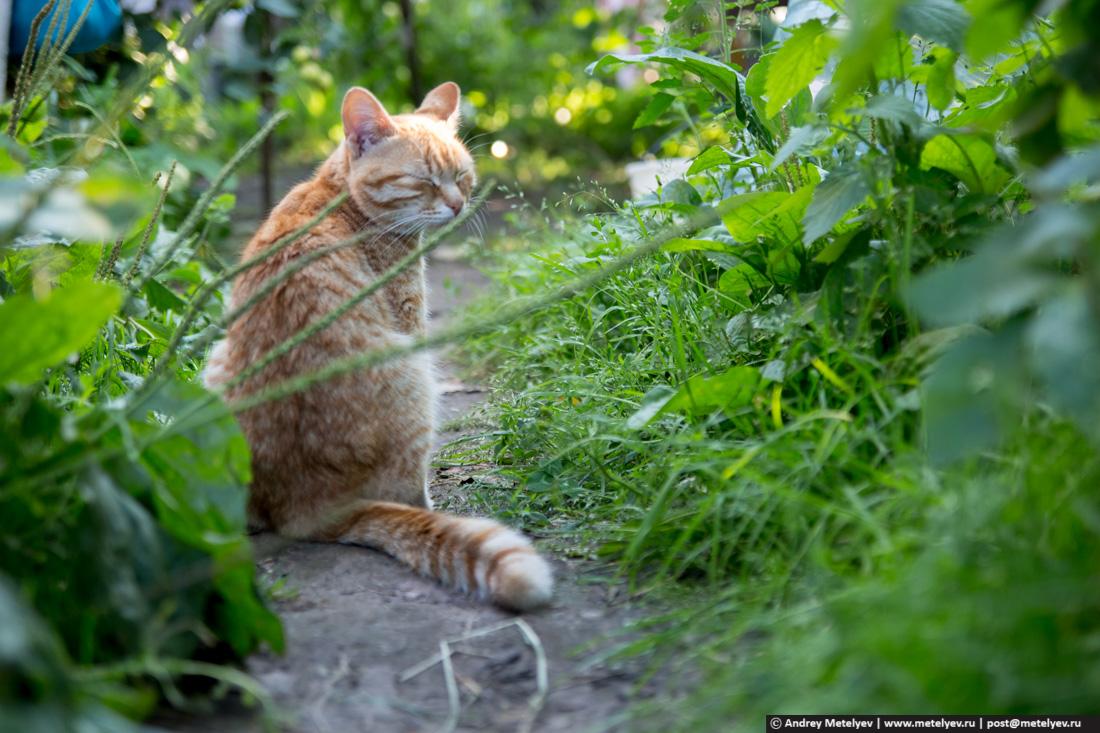 пришлый рыжий кот