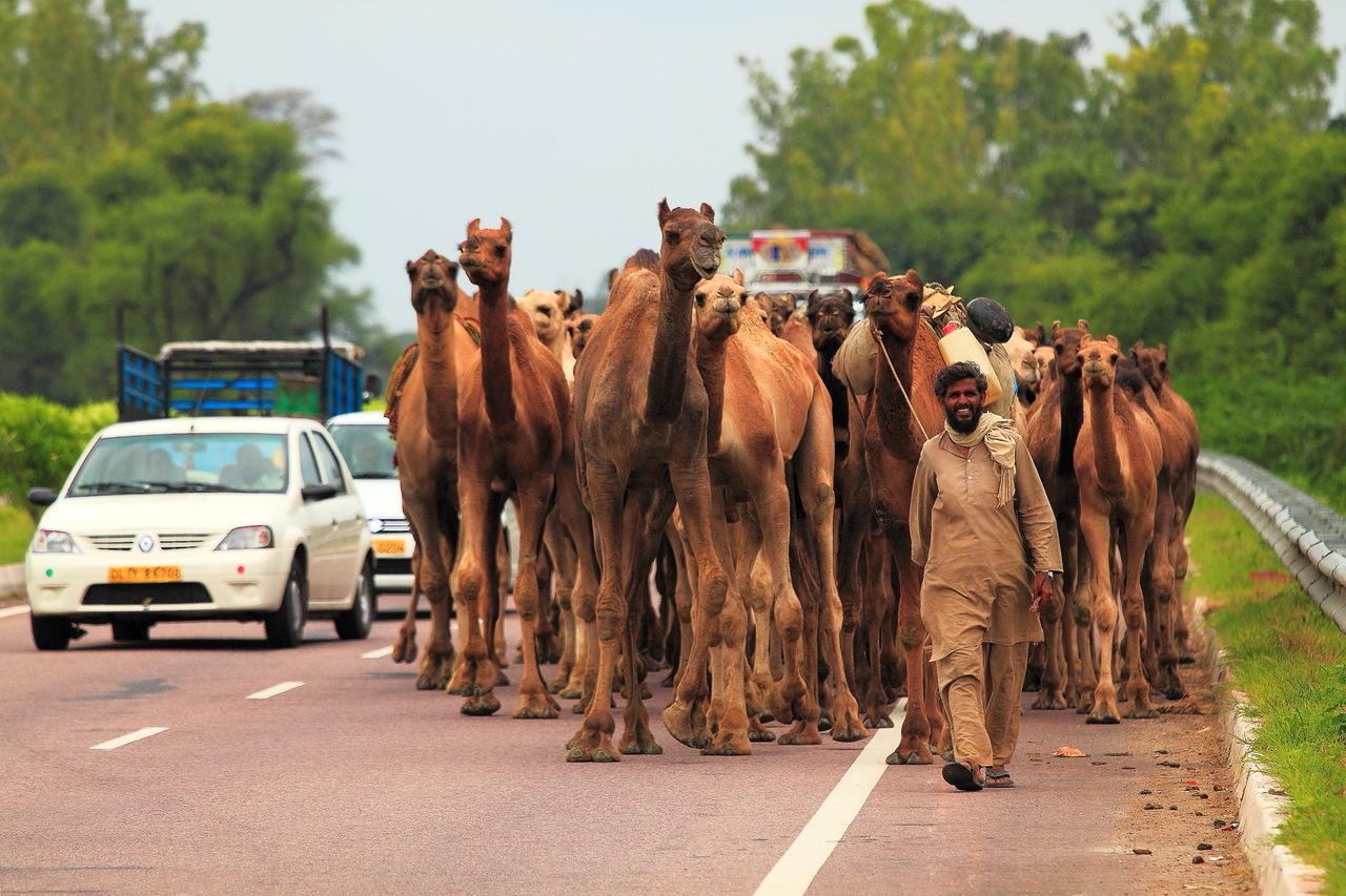 15. Начало замечательного отчета о серии поездок в Индию. («Погонщик верблюдов». Камера Canon EOS 500D. Canon EF 70-200mm f/4L IS. Выдержка 1/1000 сек, -0.33 eV, f/4.5. ФР=189 мм, ISO 100)