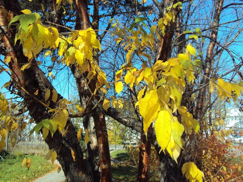 Желтая листва