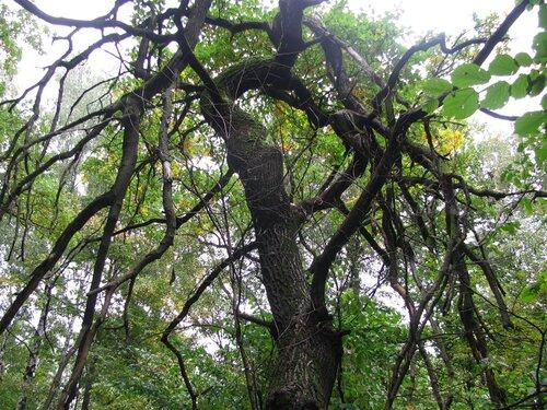 дерево погибло