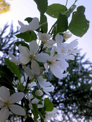 Шишка и яблоня