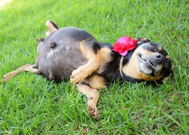 Эта беременная собака покорила интернет своей фотосессией