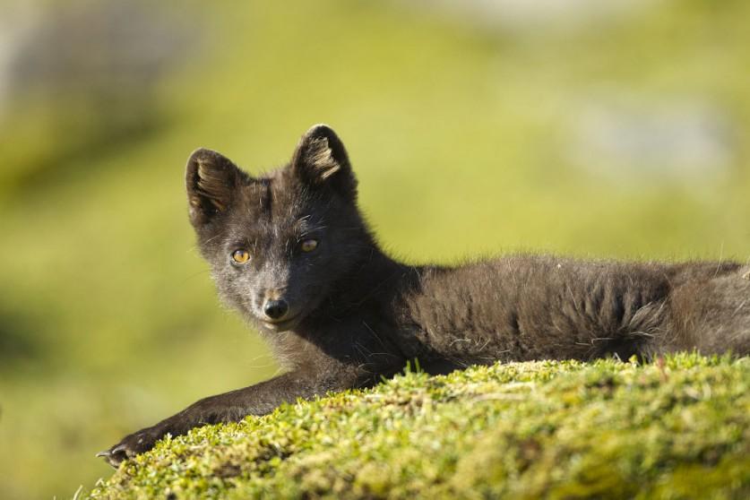 11. На Шпицбергене отмечается около 90 видов птиц, из которых 36 постоянно гнездятся на архипелаге.