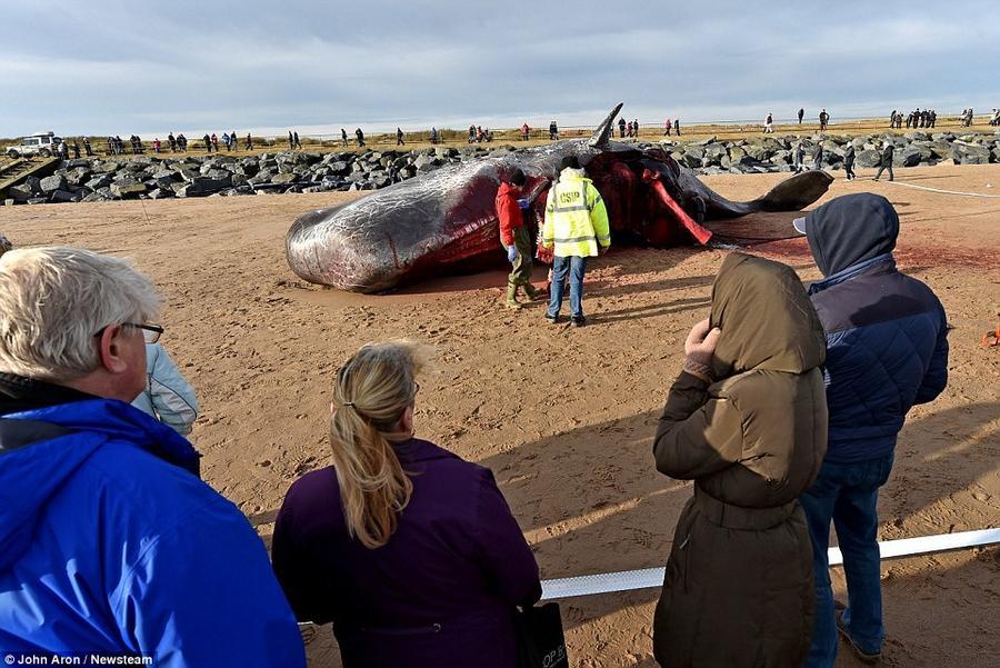 4. Вскрытие туши одного из трёх кашалотов, оказавшихся на побережье в Скгнессе.