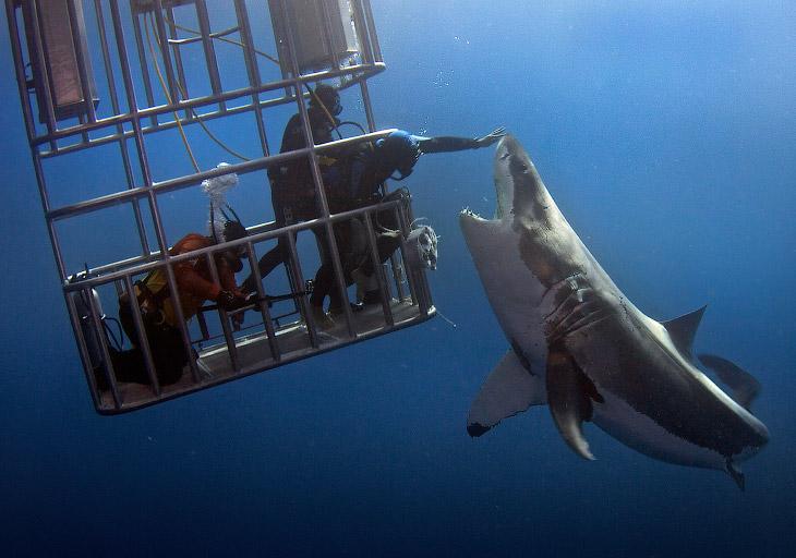 1. Белая акула является одной из крупнейших хищных рыб на Земле. В среднем они вырастают до 4,6