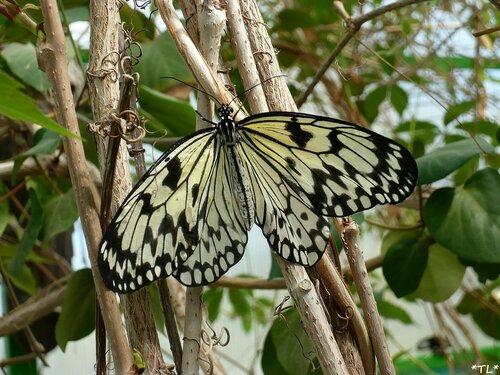 """Бабочка """"Идея белая"""" (Рисовая бумага)"""