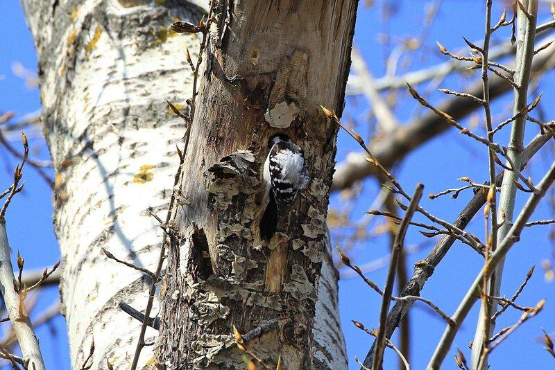 Дятел на дереве долбит дупло