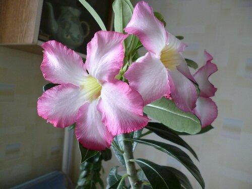 пинок цветение