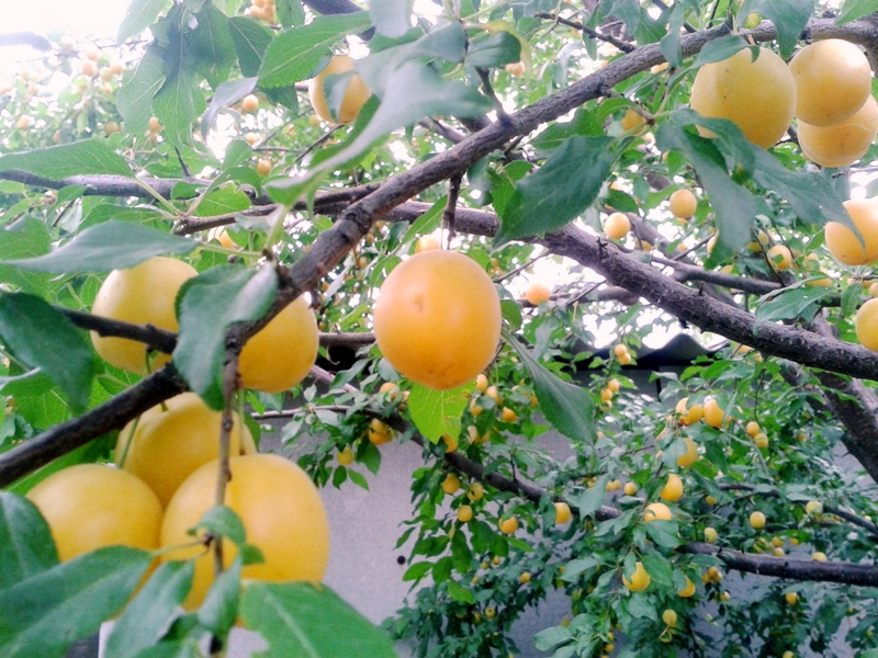 фрукты 2016