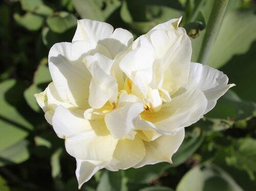 Белый тюльпан.